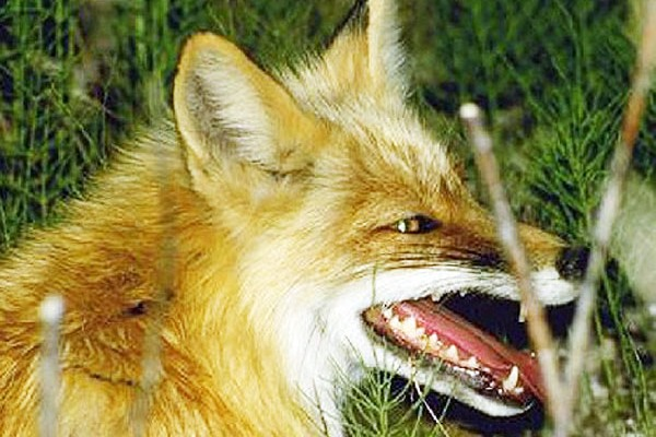 A fox and cat were infected with rabies in Nizhny Novgorod region, Russia