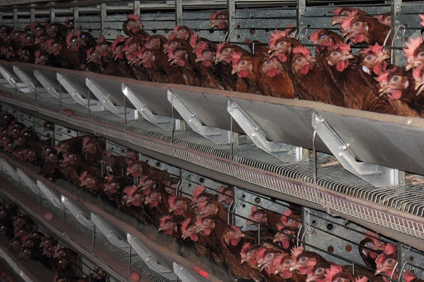 Prosecutors will check all poultry farms in Nizhny Novgorod, Russia